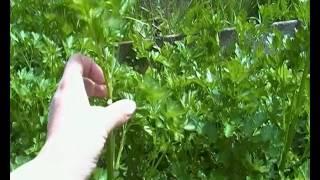 видео Сорта корневой петрушки