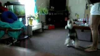 Kaiser Miniature Schnauzer Dancing