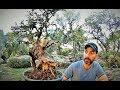 How To Collect Material For Bonsai: The Olive Tree (Olea sylvestris) 1st Update