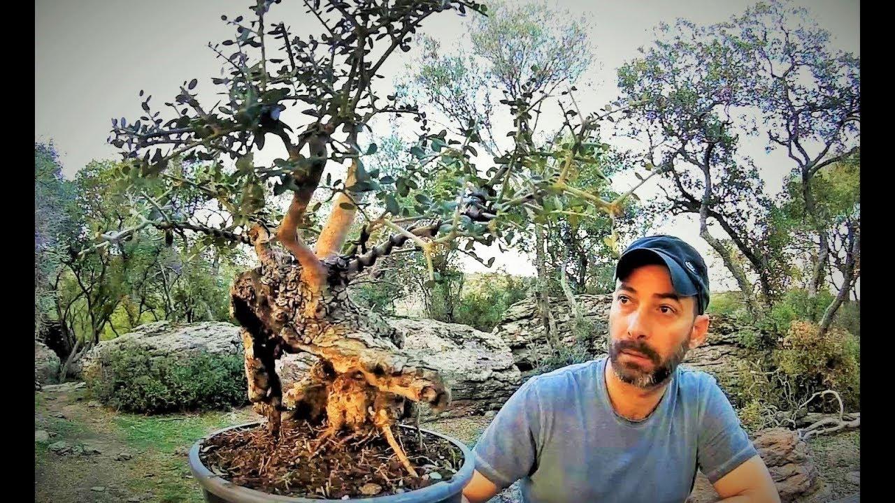 Bonsai Video How To Collect Wild Trees Yamadori Bonsai Tree