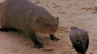 Top 3 Mongoose vs cobra Snake fighting to the death