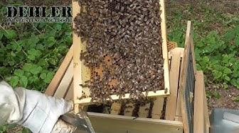Ein kurzer Blick in ein Bienenvolk - Teil 1 (das Leben der heimischen Honigbiene)