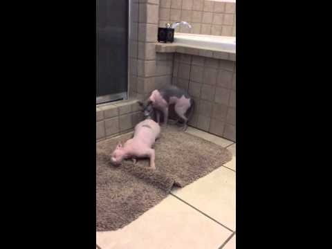 Silly Sphynx Girl in Heat, Hairless Sphynx Cats