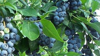 Blueberry (Food)