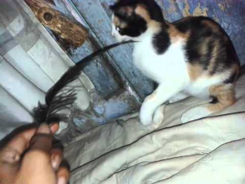 Kucing kampung vs bulu burung tangsi