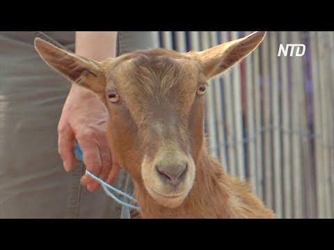 24 козы очистят