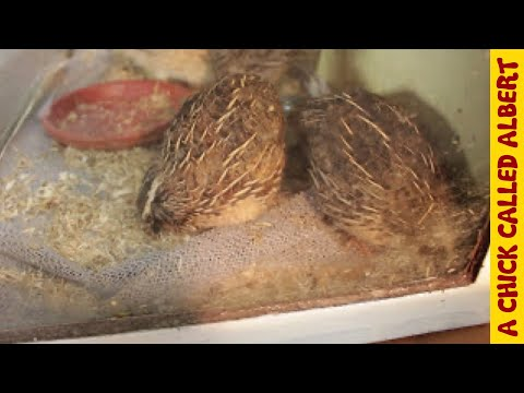 Albert meets other quail chicks. They came from supermarket eggs too.