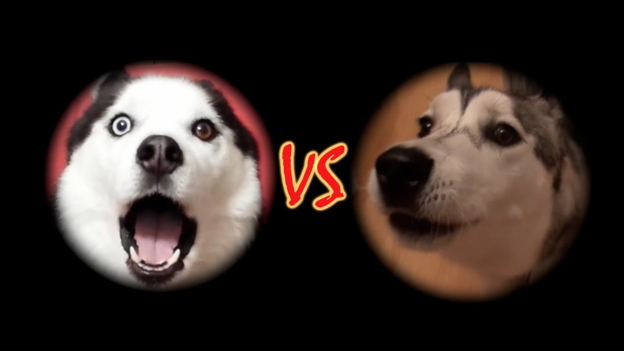Snow And Wolfie S Mad Siberian Husky Conversations Youtube