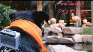 Dog Cam Exploring The Flamingo Las Vegas Wildlife Habitat!  A Dog Friendly Hotel!