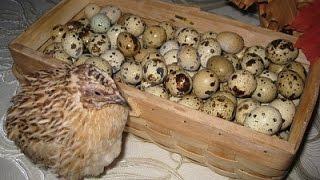 Почему не несутся перепелки(Причины спада яйценоскости у перепелов по которым перестали откладывать яйца, довольно много. Для того..., 2016-07-16T15:50:51.000Z)