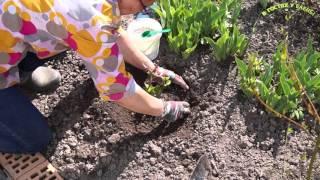 видео Подкормка гортензии весной