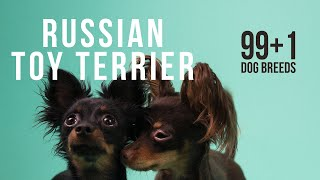 Russian Toy Terrier / 99+1 Dog Breeds