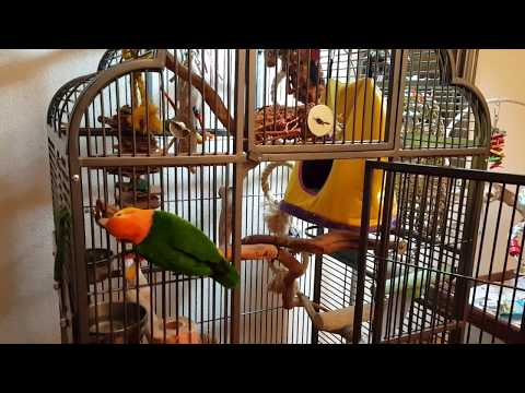 white bellied caique Storm lets just see, do a thumb up if you like this 28-10-2017  184504