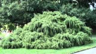 Hemlock Trees For Sale $2.25 at Tn Tree Nursery Online