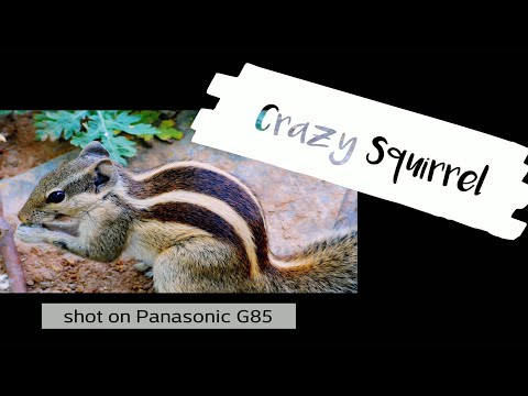 Indian squirrel funny movements