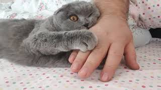Scottish Fold Duchess # Morning Love.. / Düşes'in Sabah Sevgisi..