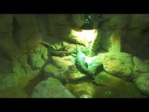 21 nile crocodile Crocodylus niloticus Emirates Zoo Abu Dhabi 2018