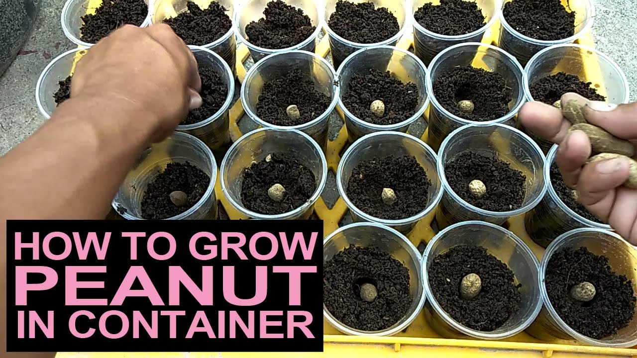 Paano Magtanim Ng Mani Sa Container I How To Grow Peanut In Container