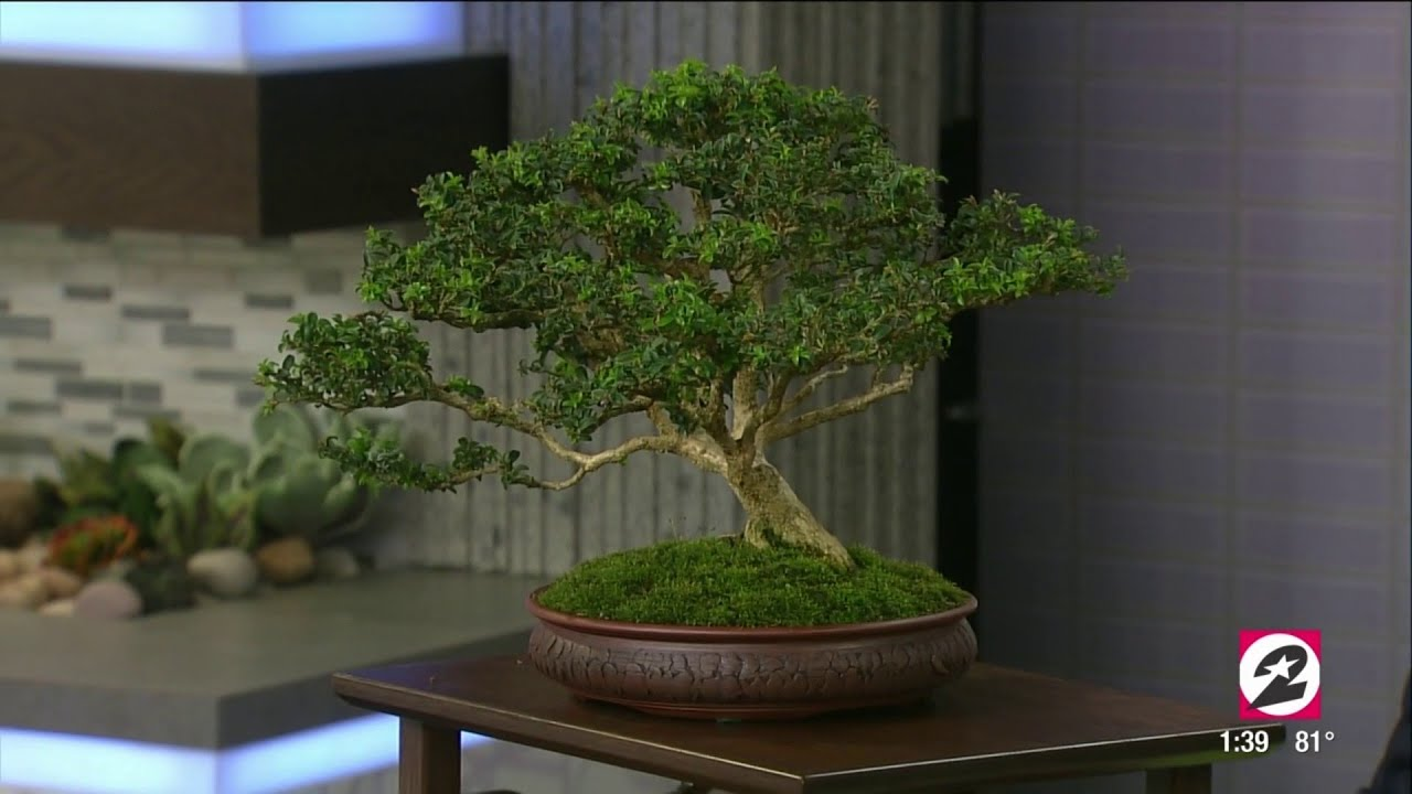 How To Properly Care For Your Bonsai Tree Houston Life Kprc 2 Youtube