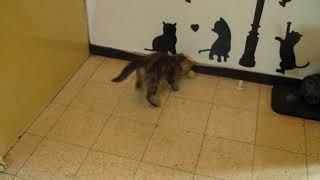 британский котенок Ричард 2 месяца - игра в мячик