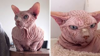 Extremely Wrinkly Sphynx Cat