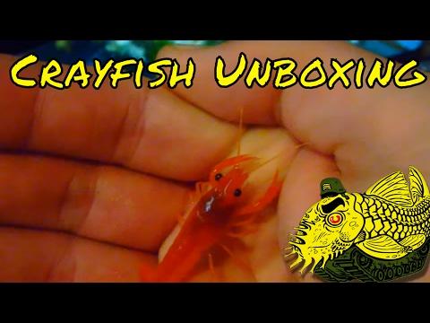 Unboxing Video Of Clarkii Crayfish