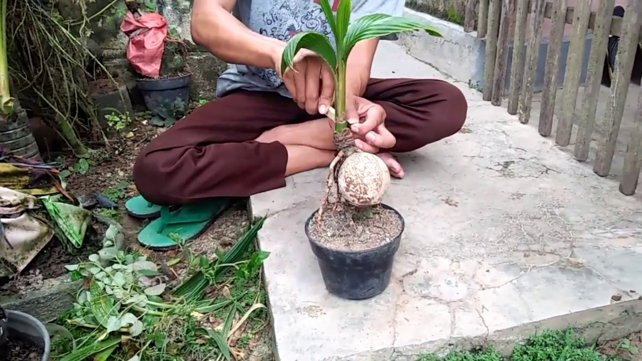 Membersihkan Batok Kelapa Pada Bonsai Kelapa Tahap 1 Youtube