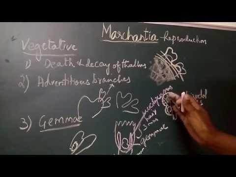 Marchantia Vegetative reproduction