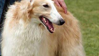 【超大型犬】ロシアのオオカミ狩りの犬「ボルゾイ」がかわいい♡~Russia...