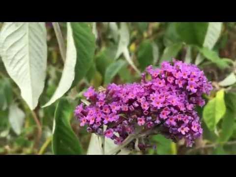 Pink Butterfly Bush Flowers (Buddleja or Buddleia) #butterflybush #buddleja #buddleia #gardening