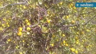 Alıç ağacı alıç meyvesinin alıç sirkesi faydaları yararları nelerdir alıç meyvesinin sirkesi faydası