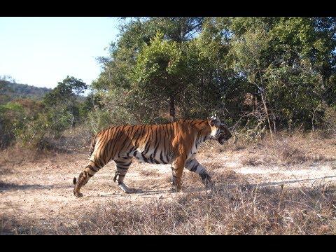 Man eating TIGER caught near Sathyamangalam
