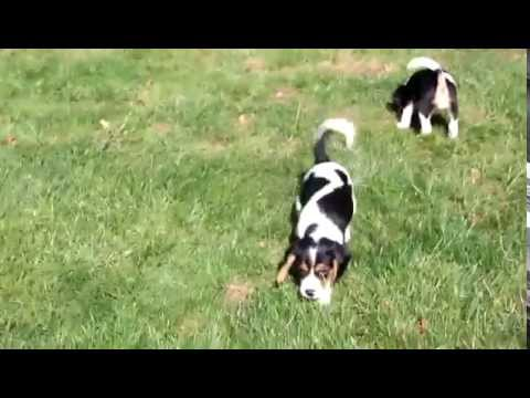Beagle Mix Puppies For Sale