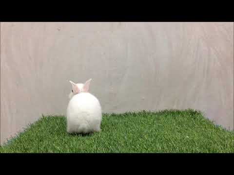 กระต่ายแคระ