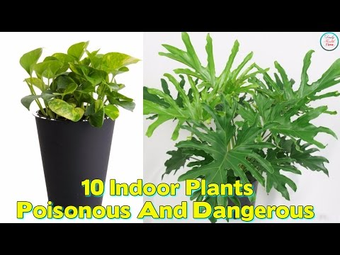 Indoor Plants That Are Poisonous And Dangerous