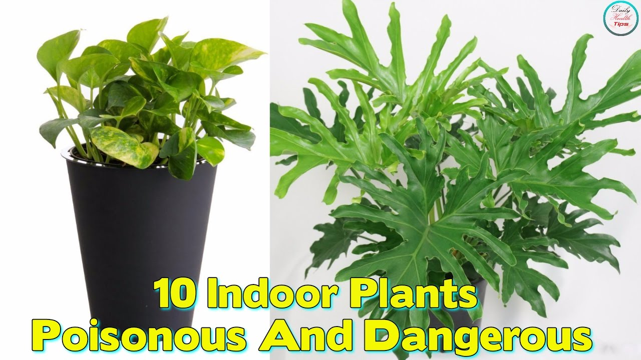 Best Kitchen Gallery: 10 Indoor Plants That Are Poisonous And Dangerous Youtube of Tropical Ivy House Plants on rachelxblog.com