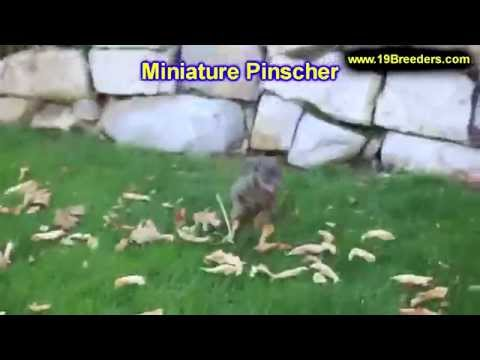 Miniature Pinscher, Puppies, For, Sale, In, Washington DC, Georgetown, Alexandria, District of Colum