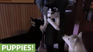 Siberian Husky puppy meets his father for the first time