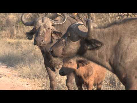 Sound of the African Bushveld, Buffalo's - AFRICAN WILDLIFE