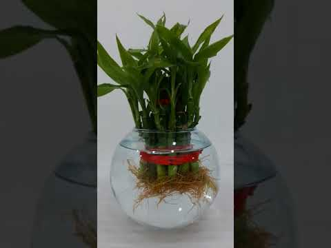 My Beta Fish Aquarium With Bamboo Plant