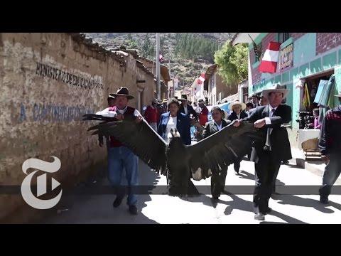 It's Condor Vs. Bull In Peruvian Fighting Ritual   The New York Times