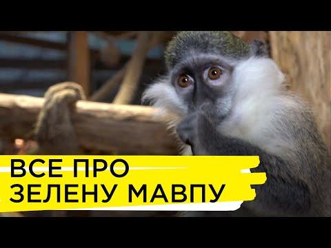 Суспільне Житомир: Ноїв ковчег. Зелена мавпочка
