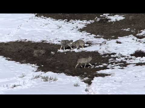 Yellowstone Coyotes and their Fascinating Behaviors