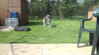 Blue merle Border Collie playing fetch with Orange Collie