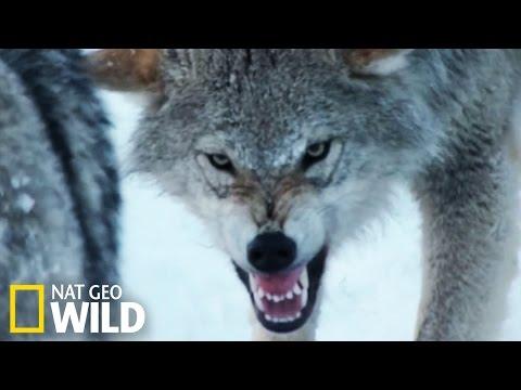 Les bisons contre les loups gris