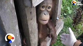 Orangutan Rescue: Orangutan Lives In Tiny Box for TWO Years | The Dodo