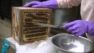 日本ミツバチの採蜜②