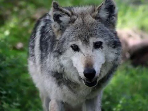 Mexican Gray Wolf F749