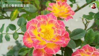 2020台北玫瑰展:樹玫瑰專輯