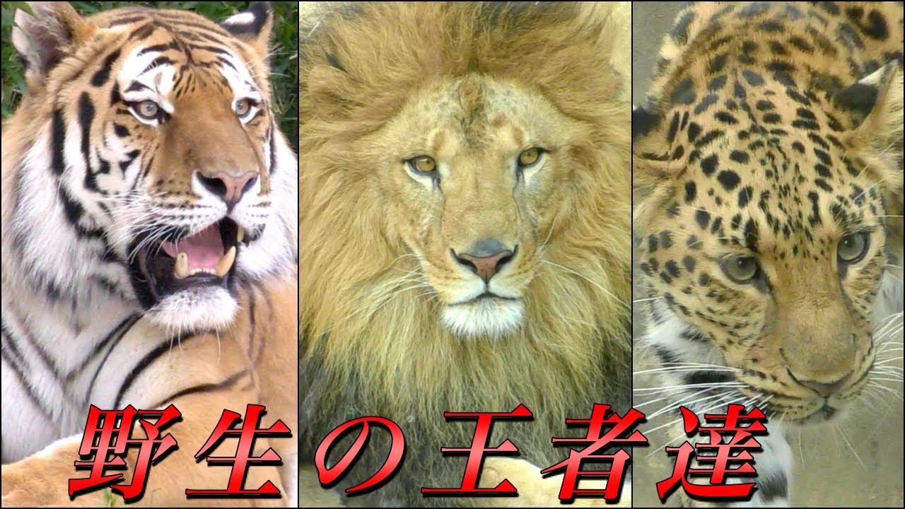大型のネコ科動物たち全種〜ライオン・トラ・ジャガー・ヒョウ・ユキヒョウ・チーター・ピューマ〜